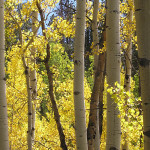 Aspens Near Mount Margaret 2013 by TVS