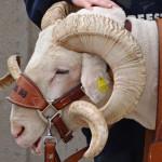 CSU Rams Cam the Ram 2014 by TVS